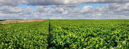 Panorama delle foglie verde intenso della barbabietola da zucchero nel campo con cielo blu nuvoloso Fotografia Stock Libera da Diritti