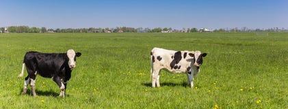 Panorama delle mucche dell'Holstein dell'olandese immagini stock