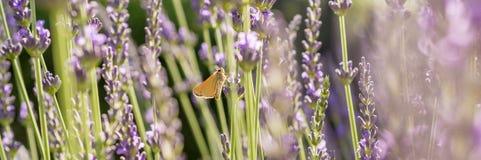 Panorama delle piante della lavanda con la farfalla della spesso-testa fotografie stock libere da diritti