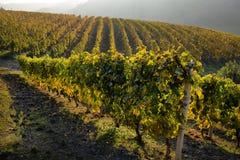 Panorama delle vigne di autunno fotografie stock