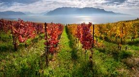 Panorama delle vigne di autunno in Svizzera Immagini Stock