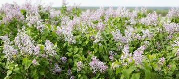 Panorama der blühenden Flieder Lila Jahreszeit der Blüte im Frühjahr stockfotografie