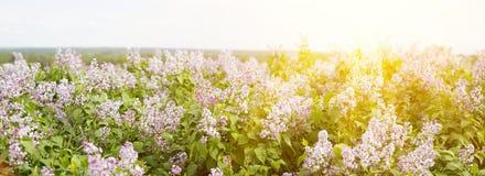 Panorama der blühenden Flieder Lila Jahreszeit der Blüte im Frühjahr stockfotos