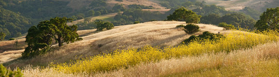 Panorama der goldenen Kalifornien-Hügel und des Senfes Lizenzfreie Stockbilder