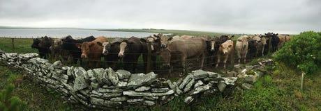 Panorama der neugierigen Kuh, Orkney, Schottland Stockbilder
