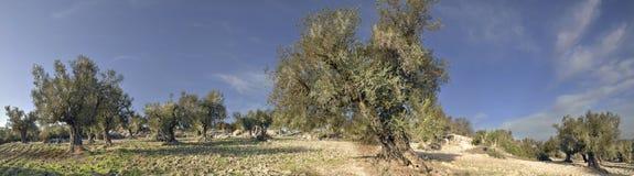 Panorama der Olivenbäume Stockbilder