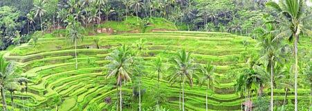 Panorama der Tegalalang Reis-Feldterrassen, Bali Stockfotografie