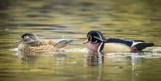 Panorama des couples de canard en bois Photographie stock