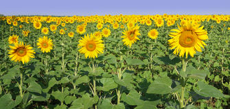 Panorama des Feldes mit Sonnenblumen Stockfoto