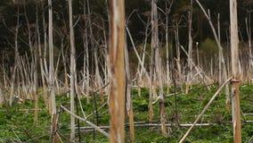 Panorama des Feldes von getrocknet hogweed stock video footage