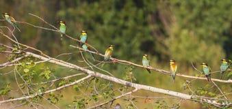 Panorama des oiseaux du paradis Images stock