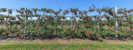 Panorama des pommes sur la vigne, Long Island, NY images libres de droits