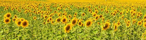Panorama des Sonnenblumenfelds Stockbild