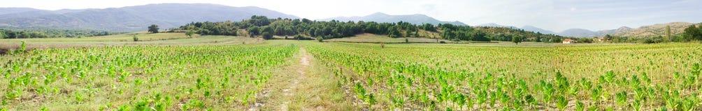 Panorama des Tabakfeldes Stockbilder