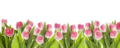 Panorama des tulipes roses Photo libre de droits