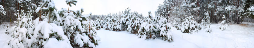 Panorama des Winterwaldes. Stockfotografie