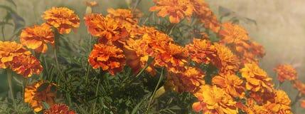 Panorama di autunno dei tageti gialli ed arancio fotografia stock