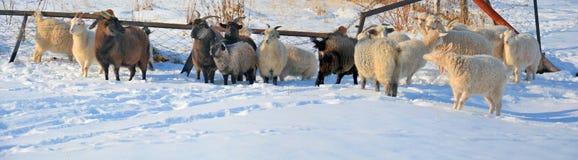 Panorama di inverno con giù le capre Fotografie Stock Libere da Diritti