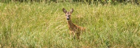 Panorama di un cervo divorante nell'alta erba fotografie stock