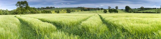 Panorama di un giacimento di grano in primavera Fotografie Stock