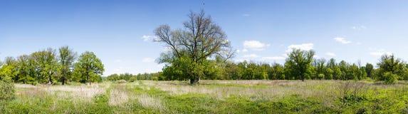 Panorama di una foresta della quercia della molla Fotografia Stock
