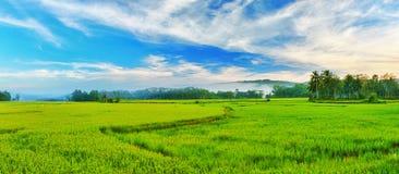 Panorama do arroz 'paddy' fotos de stock royalty free