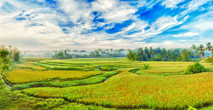 Panorama do arroz 'paddy' foto de stock royalty free