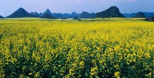 Panorama do campo do rapeseed Fotografia de Stock