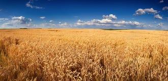 Panorama dorato del giacimento di grano prima del raccolto Fotografia Stock