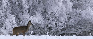 Panorama dos cervos das ovas no inverno imagem de stock royalty free
