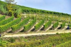 Panorama dos vinhedos Imagem de Stock Royalty Free