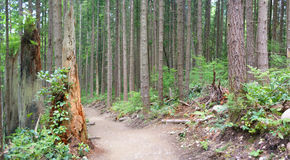 Panorama - Douglas fir in forest Stock Photography
