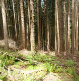 Panorama - Douglas fir in forest Royalty Free Stock Image