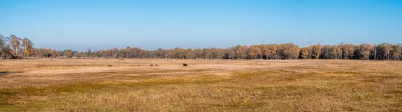 Panorama of dried up pond with highland cattle in nature reserve. Panorama of dried up pool with highland cattle and row of trees in aun in nature reserve stock photos
