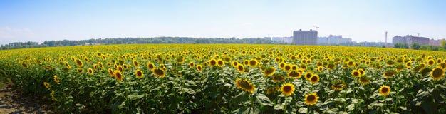 Panorama du champ des tournesols mûrs Photos stock