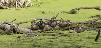 Panorama of ducks on a log. A panoramic image of several ducks gathered on a log Royalty Free Stock Images