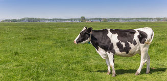Panorama of a dutch black and white Holstein cow Stock Images