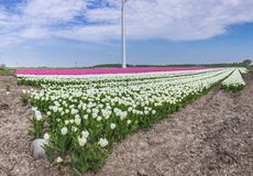 Panorama of a Dutch white tulips field in Holland. Under a clouded sky royalty free stock photo