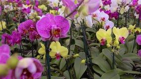 Panorama einer bl?henden Orchidee Bl?hendes Orchideenpanorama Orchideenblumenabschlu? oben, sch?ner Orchideenabschlu? oben stock video