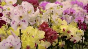 Panorama einer bl?henden Orchidee Bl?hendes Orchideenpanorama Orchideenblumenabschlu? oben, sch?ner Orchideenabschlu? oben stock video footage