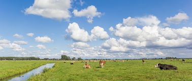 Panorama einer niederländischen Landschaft mit Kühen nahe Groningen Lizenzfreies Stockfoto