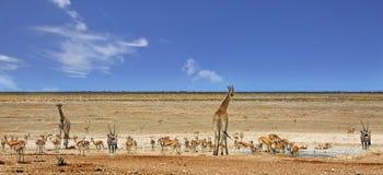 Panorama eines beschäftigten waterhole in Nationalpark Etosha Stockbilder