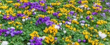 Panorama eines Blumenbeets von crosusses Lizenzfreie Stockfotos