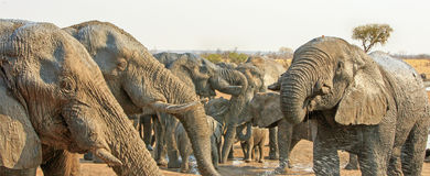 Panorama of elephant heads drinking Royalty Free Stock Images