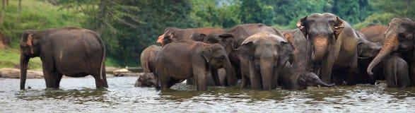 Panorama of elephant herd in water. Pinnawala, Sri Lanka royalty free stock photography