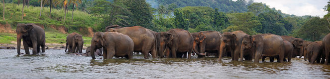 Panorama of elephant herd in water. Pinnawala, Sri Lanka stock photos