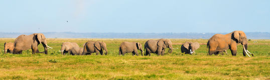 Panorama of elephants. Walking in the grass in Amboseli national park, Kenya stock photography