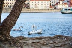 Panorama en Charles Bridge en Praga en eveining con los cisnes Imagenes de archivo