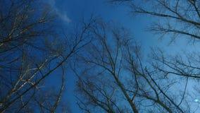Panorama en los tops de árboles, álamo temblón en el fondo del cielo azul de la primavera almacen de video