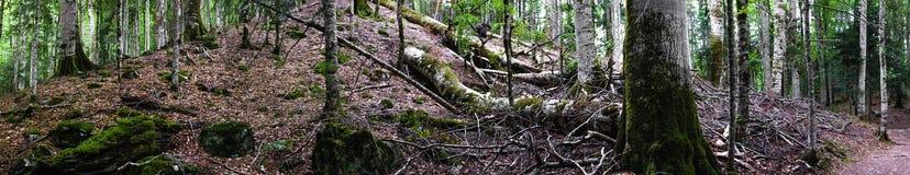 Panorama extrêmement large de forêt profonde images libres de droits
